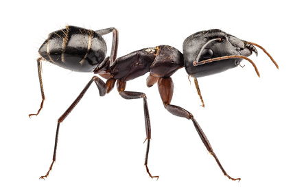 Image of a carpenter ant
