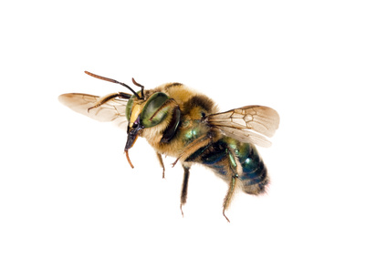 Image of a carpenter bee