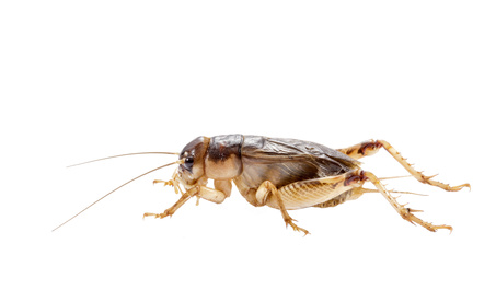Image of a cricket
